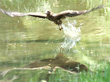 An eagle splashes water on itself at the National Zoological Park