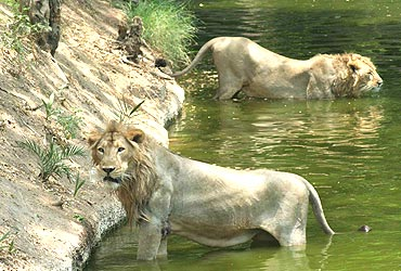 Lions in the park keep themselves cool on Thursday