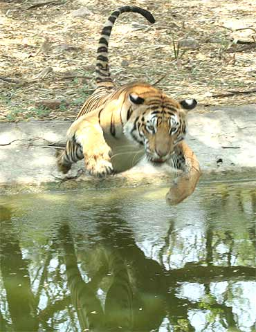 A big cat at Nehru Zoological Park. The zoo has eight Bengal Tigers.