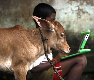 A schoolboy uses a laptop provided to him under 'one laptop per child' project by a non-governmental organisation as a calf stands near in a primary state-run school on the eve of International Literacy Day at Khairat village, about 90 km (56 miles) of Mumbai on September 7