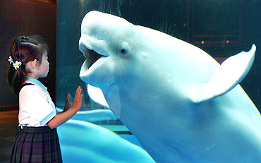 A white whale reacts to a young visitor as she admires the marine creature
