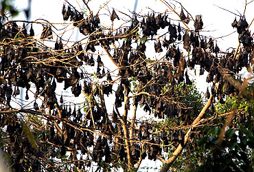 Fruit bats rest on tree branches