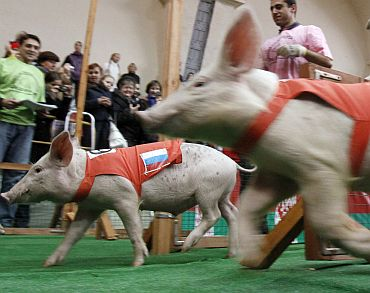Piglets compete in pig races, as part of the Golden Autumn 2010 agricultural exhibition, in Moscow on October 3, 2010. The international competition involves competing teams from six countries with the winner being awarded a medal and a cup with strawberry chantilly during the two-day marathon, according to local media