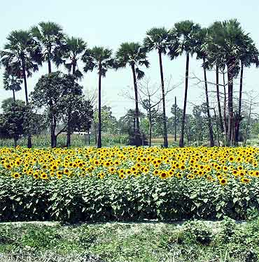 A sunflower field en route from Hajipur to Muzaffarpur in Bihar.