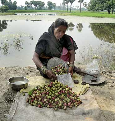 A woman sells water chestnuts from the pond behind
