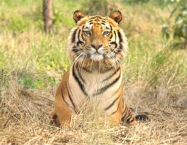 Raja, an eight-year-old rescued Royal Bengal iger at Jaldapara Wildlife Sanctuary