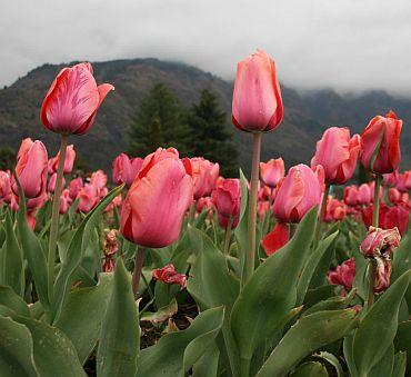 Kashmir's scintillating tulip garden