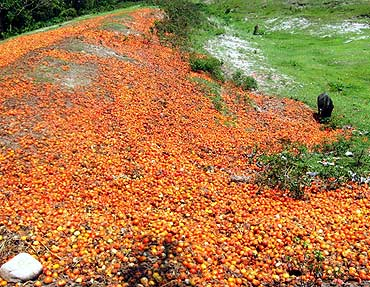 Loads of tomatoes rotting at a dump yard in Haldibari