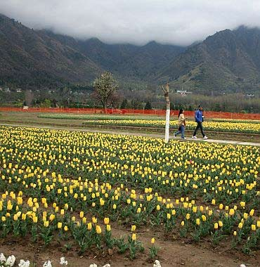 Tulips in bloom in Kashmir.