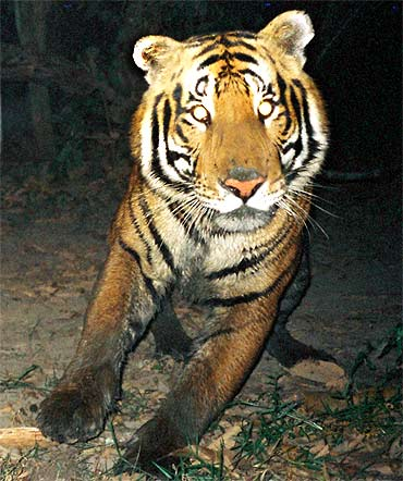 The tiger population in Assam touched 143 in 2010