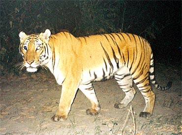 Estimated population of 1,706 tigers represents a 20 percent increase from the last survey in 2006