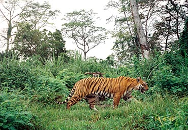 Density of tigers in Kaziranga has doubled since 1998