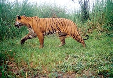 11 tigers were spotted in Manas National Park