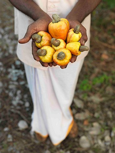 Freshly picked cashew fruit with the nut still attached in Kasargod