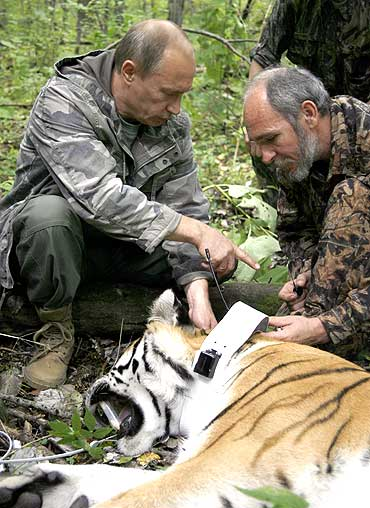 Putin holds a five-year-old tiger's head as scientists put on a collar with a satellite tracker on the animal in the academy of sciencies Ussuri reserve in Russia's Far East