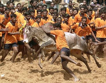 Tamil Nadu's dangerous bull-taming fest