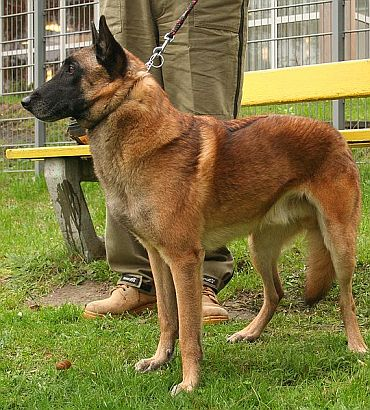 File photo of a Begian Shephard Malinois
