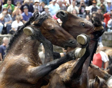 Horses fight during the 'Rapa Das Bestas' traditional event in the Spanish northwestern village of Sabucedo
