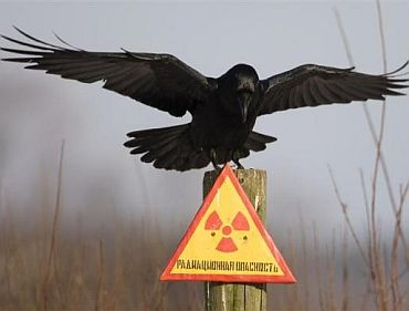 A raven sits on a post inside the 30 km exclusion zone around the Chernobyl nuclear reactor