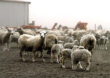 heep are seen at a farm during the ash fallout in Mulakot, Iceland