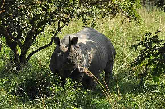 A Great Indian one horned rhino at the Pobitora Wildlife. Pobitora is famous for the highest density of Great Indian One Horn Rhino within 42sqkm.