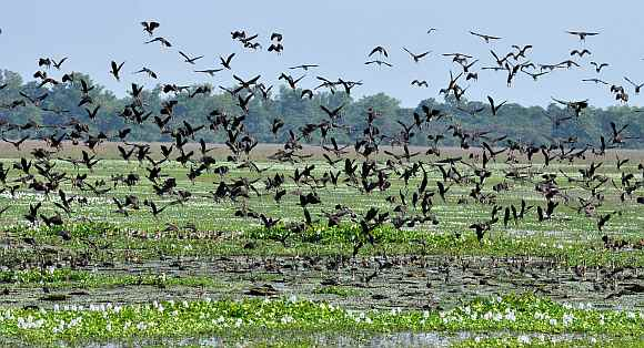 Thousands of Lesser Whistling Teal at the Pobitora Wildlife Sanctuary