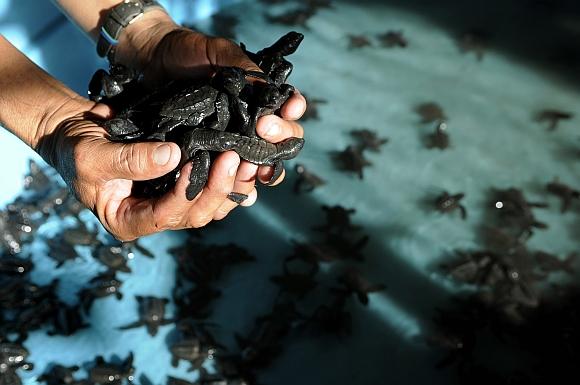 Golfina turtles