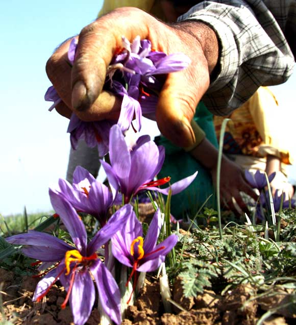 A saffron worker plucks the flower in a field in Pampore