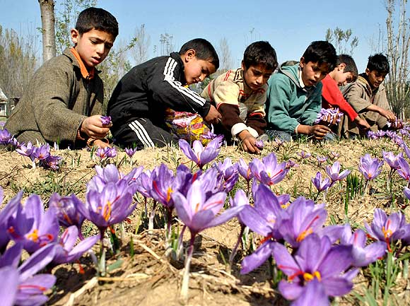 Kashmiri children pluck flowers from the field