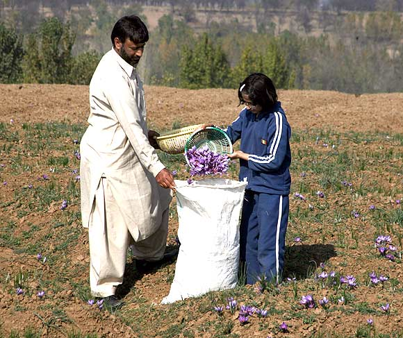 Kashmir's saffron story: Spice with a touch of romance