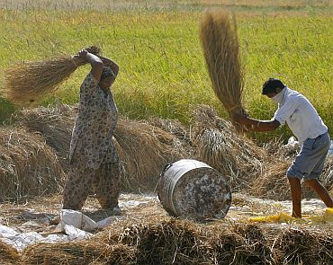 Workers thrash paddy crop at Motte Majra village in Punjab