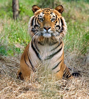 Protection of Royal Bengal Tiger protocol to be signed