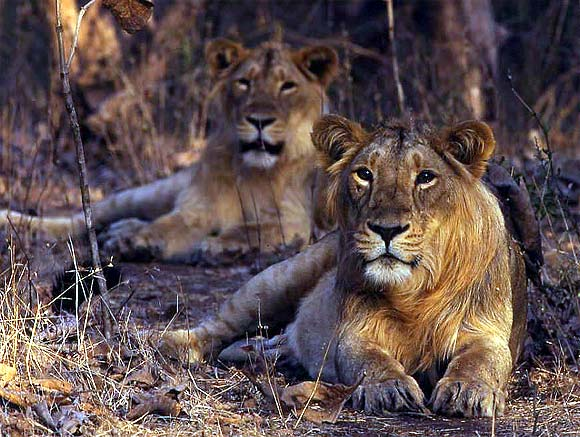 In Gir National Park, 139 lions die 'accidentally'