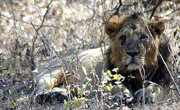 In Gir National Park. 139 lions die 'accidentally'