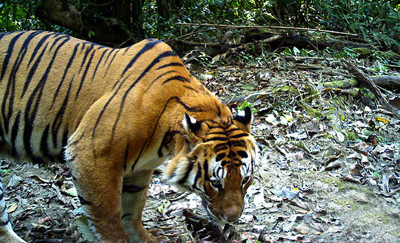 Male tiger at Namdapha Reserve