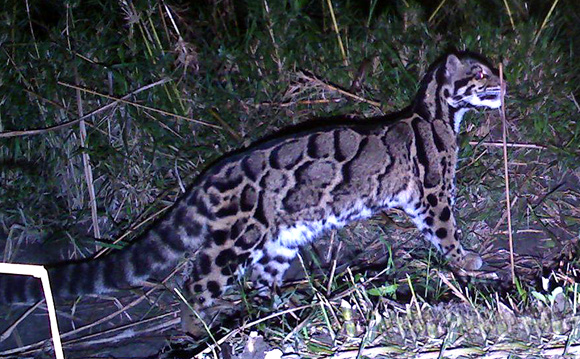Clouded Leopard at  Namdapha Reserve