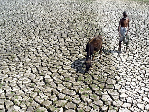 A farmer walks with his hungry cow through a parched paddy field