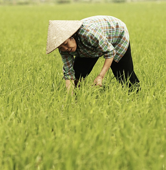 China may see a decline in rice production as a fallout