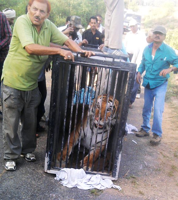 UP forest officials trap the wild cat on the lose in a forest patch near around an institute in Rehmankhera