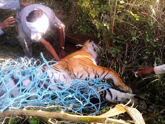 Support staff trying to cart the unconscious tiger into a cage