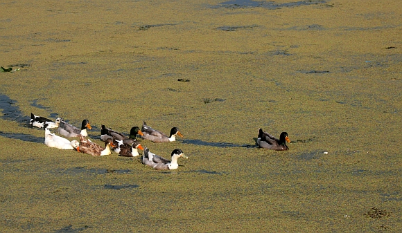 A flock of ducks wade through thick vegetation at the lake