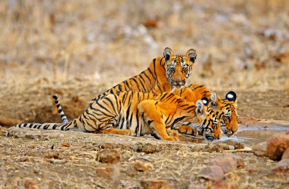 Of the 1.1 million hectares of forest at risk, over 185,000 hectares are inhabited by tigers