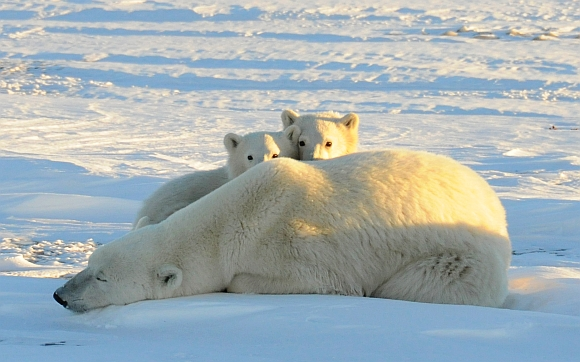 A World Wildlife Fund photograph taken along the western shore of Hudson Bay in November 2010 shows a female polar bear with two cubs