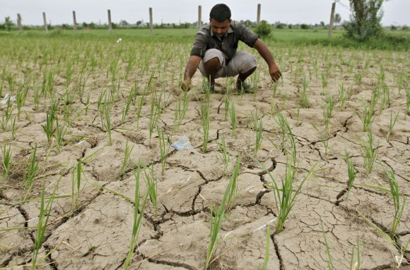 A farmer removes dried plants from his parched paddy field at a village in Gujarat