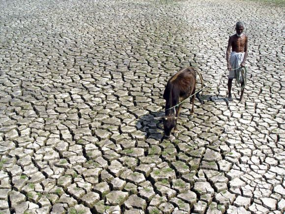 An Indian farmer walks with his cow through a parched paddy field in Agartala, Tripura