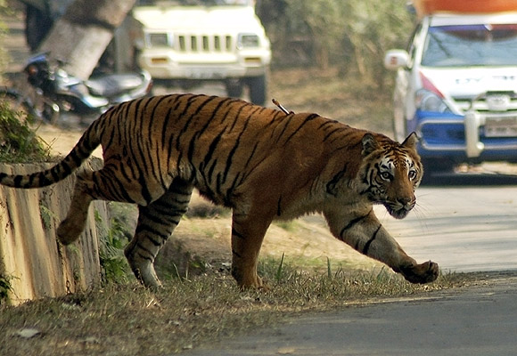 A  tiger walks inside the Assam State Zoological cum Botanical Garden in Guwahati