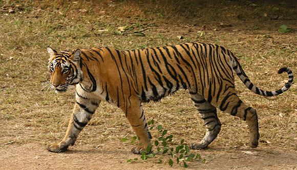A tigress is seen at the Ranthambhore National Park in the Sawai Madhopur district in Rajasthan