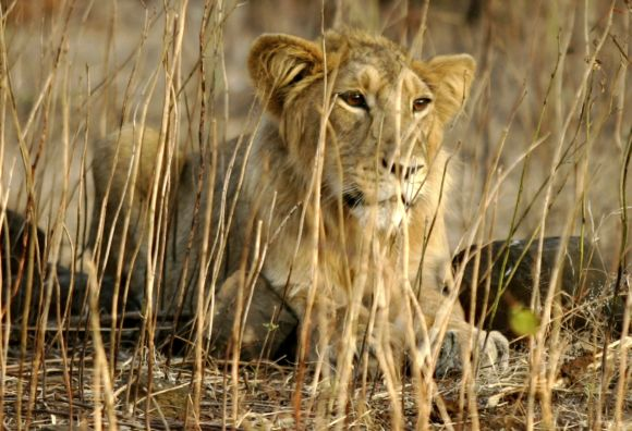 An Asiatic lion rests in Gir forest in Gujarat
