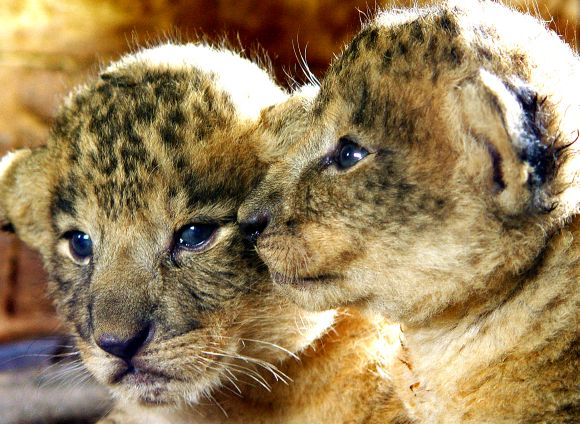 Two-week old lion cubs from Gir forests snuggle together at a zoo in Bangalore