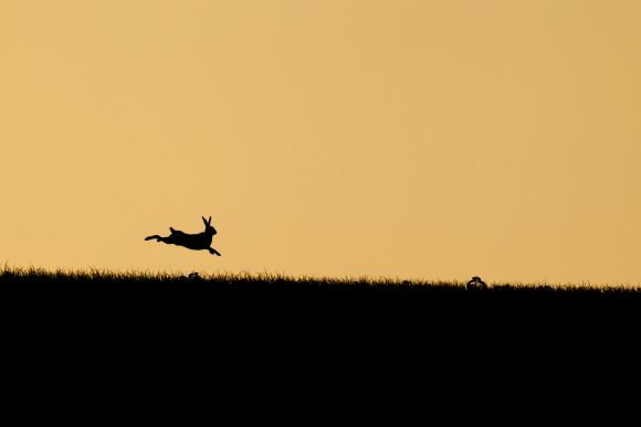 Leaping hare at sunset